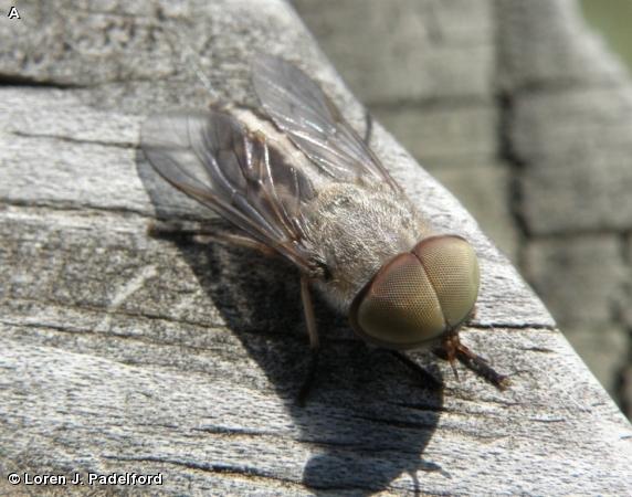 Male Tabanus subsimilis
