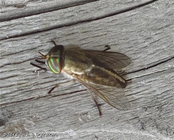 Female Tabanus subsimilis